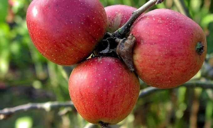 Под запретом находятся яблоки, которые способствуют повышенному продуцированию желудочного сока