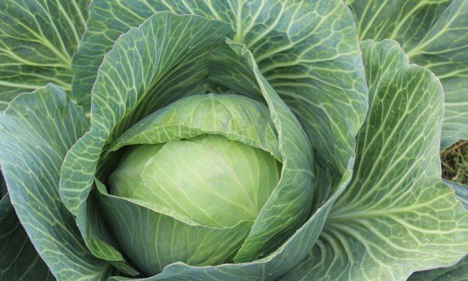 Белокочанная капуста входит в список продуктов, которые запрещены при геморрое
