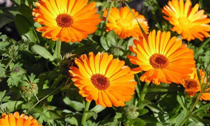 В число самых полезных растений входит календула