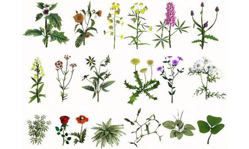 Лекарственные травы от геморроя в составе комплексной терапии усиливают действие фармакологических препаратов и способствуют скорейшему выздоровлению